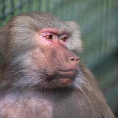 Baboon (Simia hamadrya)