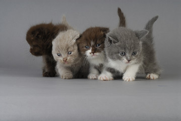 Chat / Race : Scottish Fold / Chaton