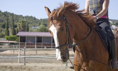 caballo holandes II