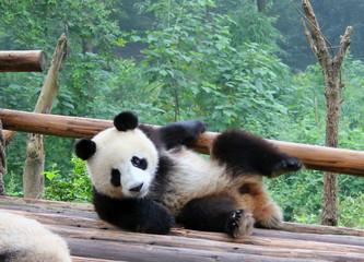 Panda Bär in China