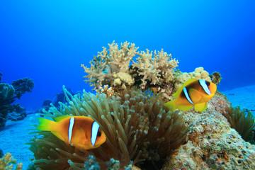 Pair of Red Sea Anemonefish