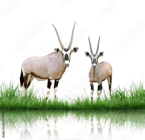 Fototapete oryx with green grass isolated