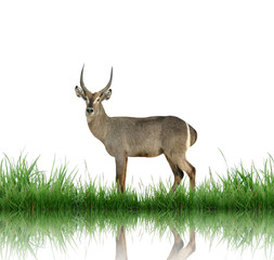 Fototapete - waterbuck with green grass isolated