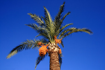 Stunning Palm tree with yellow fruit