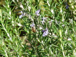 Rosmarin mit Biene