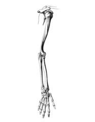 Skelett_arm_2