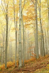 Keuken foto achterwand Bos in mist Beech trees in autumn forest on the slope on a misty day