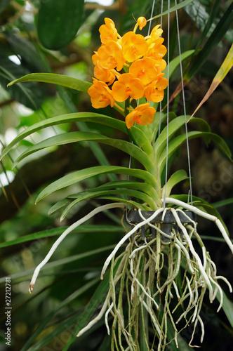 orchidee vanda a vendre