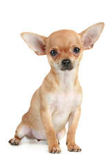 Funny puppy chihuahua