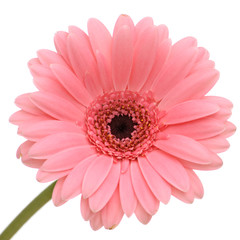 Beautiful pink gerber