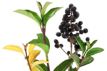 Winter privet berries.