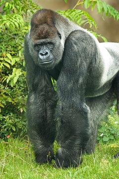 Portrait of silverback gorilla
