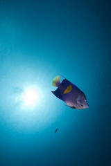 Yellowbar angelfish in the Red Sea.