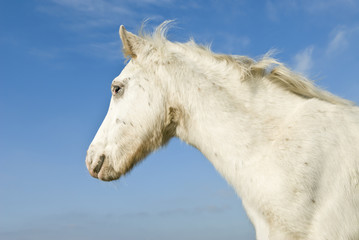 A beautiful white foal against a blue sky