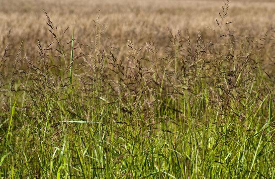 Bermuda Grass Field