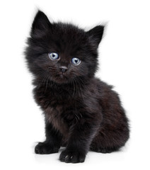 Black little kitten sitting down, white background