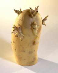 pomme de terre germée