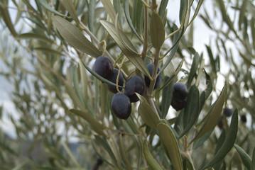 Olives noires sur olivier