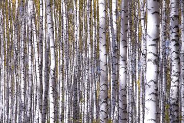 Spoed Foto op Canvas Berkbosje Yellow birches