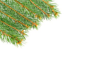 Fresh green fir twigs isolated on white background