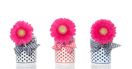 pink gerber in dotted vases isolated over white