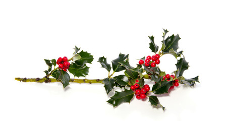 a colorful holly branch isolated over white