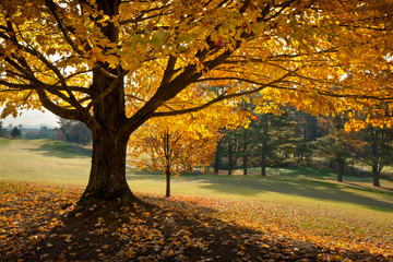 Golden Fall Foliage Autumn Yellow Maple Tree on golf course