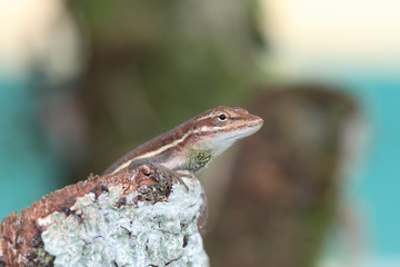 Anolis auratus - (Polychrotidae sauria)