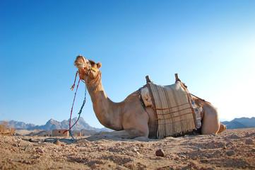 Sitting camel in the desert