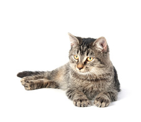 Tabby kitten on white background