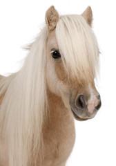 Palomino Shetland pony, Equus caballus, 3 years old