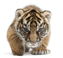 Sumatran Tiger cub, Panthera tigris sumatrae, 3 weeks old