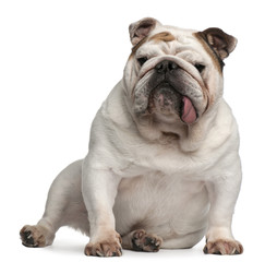 English bulldog, 5 years old, sitting