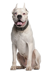 Boxer with ears cut, 1 year old, sitting