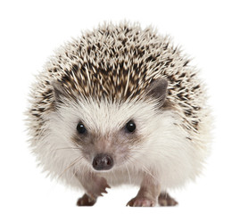Four-toed Hedgehog, Atelerix albiventris, 2 years old