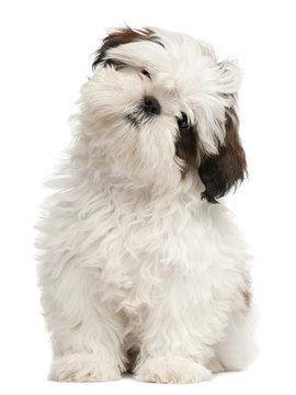 Shih Tzu puppy, 3 months old, sitting