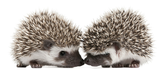 Fototapete - Four-toed Hedgehogs, Atelerix albiventris, 3 weeks old