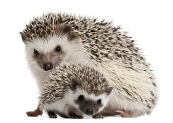 Four-toed Hedgehogs, Atelerix albiventris, 3 weeks old