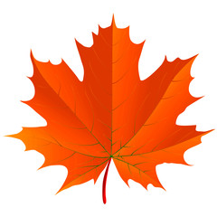 Maple leaf over a white background