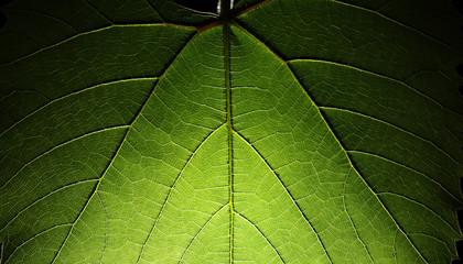 Wall Mural - Green leaf texture background. Macro closeup.