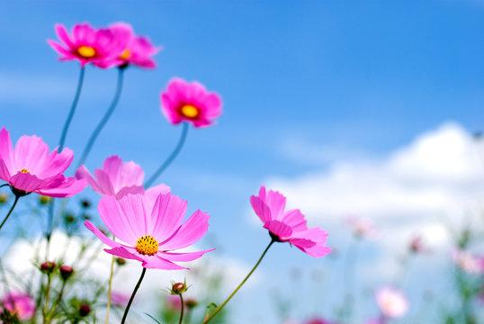 ピンクのコスモスの花と空