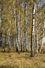 Spoed Foto op Canvas Berkbosje Autumnal forest