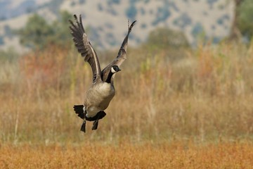 Banded Canada Goose