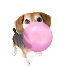 cute beagle blowing a bubble