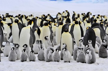 Photo sur Toile Pingouin Emperor Penguin