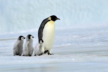 Printed roller blinds Antarctic Emperor Penguin