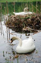 Schwanenpaar und Nest