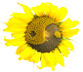 sunflower with the symbol of yin-yang