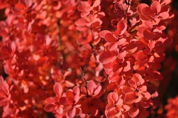 Fototapeta Jesień Czerwony berberys (2) obraz