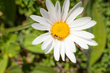 daisy with a little fly